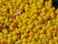 Immner wieder sind bunt verzierte Enten im Pulk auszumachen.